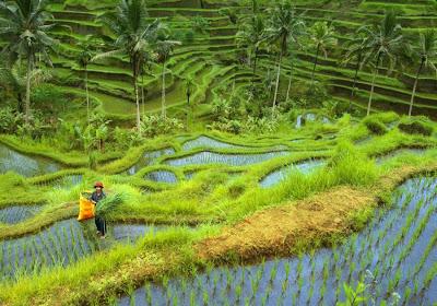 Klein hotel Ubud in de rijstvelden