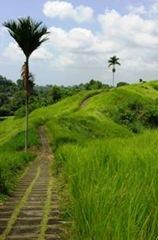 Rice field view close to Ubud, Bali