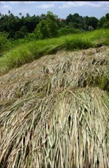 alang-alang grass used as roof covering in Bali