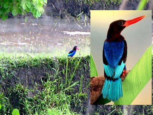 Javaanse IJsvogel gespot vanuit hotel in rijstvelden Ubud