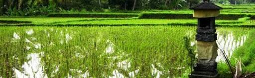 Rijstvelden vlakbij Villa Sabandari ~ Ubud Bali boutique hotel