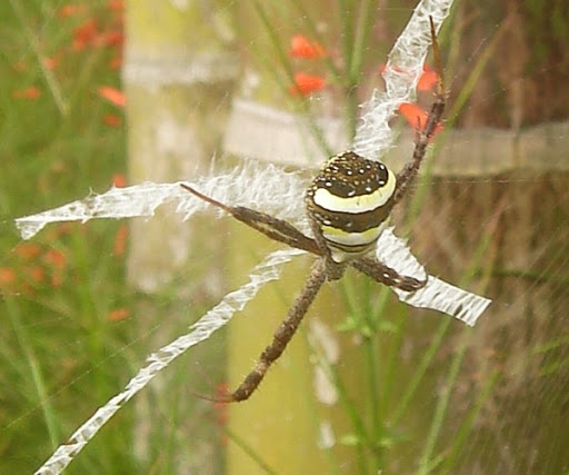No-nonsense St Andrew's Cross Spider in Villa Sabandari, retreat near Ubud in Bali