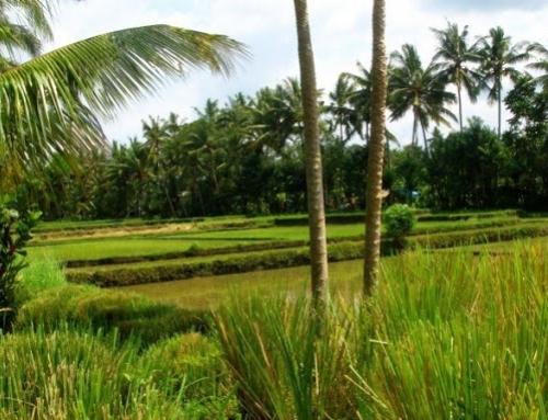 De rijstvelden worden weer beplant.