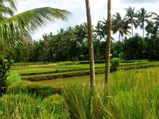 Uitzicht op het rijstveld